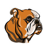 Stående av den engelska bulldoggen Arkivbild