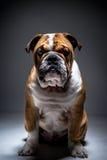 Stående av den engelska bulldoggen Fotografering för Bildbyråer