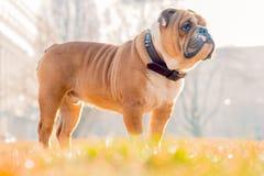 Stående av den engelska bulldoggen Royaltyfria Bilder