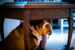 Stående av den engelska bulldoggen med den ledsna framsidan som ner lägger royaltyfria bilder