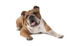 Stående av den engelska bulldoggen på vit bakgrund Royaltyfria Bilder