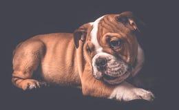 Stående av den engelska bulldoggvalpen Arkivfoto