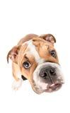 Stående av den engelska bulldoggvalpen Arkivfoton