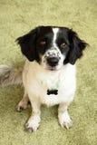 Stående av den förtjusande svartvita långhåriga hunden arkivfoto