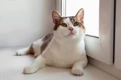 Stående av den förtjusande vita strimmig kattkatten med gröna ögon nära till fönstret royaltyfri bild