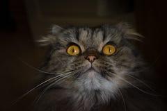 Stående av den förvånade med öppna ögon gråa scotish katten med stora orange ögon som ser upp royaltyfri bild