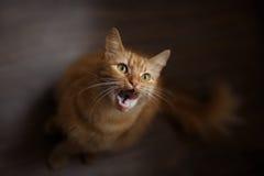 Stående av den fluffiga ljust rödbrun katten med stora vita morrhår arkivfoton