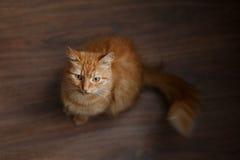 Stående av den fluffiga ljust rödbrun katten med stora vita morrhår fotografering för bildbyråer