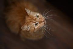 Stående av den fluffiga ljust rödbrun katten med stora vita morrhår royaltyfri fotografi