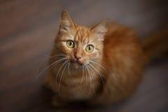 Stående av den fluffiga ljust rödbrun katten med stora vita morrhår royaltyfri foto