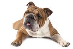 Stående av den fullblods- engelska bulldoggen på vit bakgrund Royaltyfria Bilder