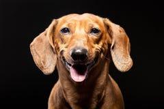 Stående av den gladlynta bruna taxhunden som isoleras på svart Arkivfoto