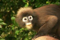 Stående av den glasögonprydda languren, Ang Thong National Marine Park, T Royaltyfri Bild