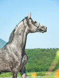 Stående av den gråa arabiska hingsten Royaltyfri Bild