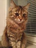 Stående av den gråa kattungen med stora gröna ögon royaltyfri bild