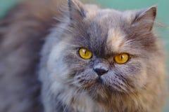 Stående av den gråa persiska katten Arkivfoton