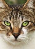 Stående av den grönögda katten Royaltyfri Bild