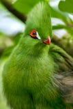 Stående av den gröna turacoen Arkivbilder