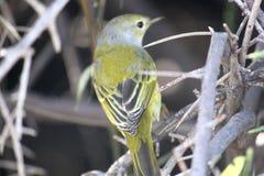 Stående av den gula sångaren (Galapagos, Ecuador) Royaltyfria Bilder