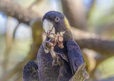 Stående av den guling Tailed svarta kakaduan Arkivbilder