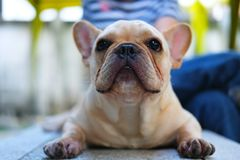 Stående av den gulliga franska bulldoggen Arkivbilder