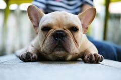 Stående av den gulliga franska bulldoggen Royaltyfri Foto