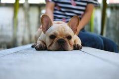 Stående av den gulliga franska bulldoggen Royaltyfri Bild