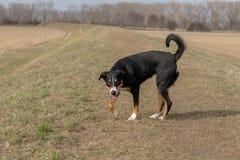 Stående stående av den gulliga le svartvita tricolor appenzellerberghunden med bakgrund av grönt gräs royaltyfri fotografi