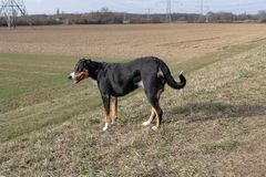 Stående stående av den gulliga le svartvita tricolor appenzellerberghunden med bakgrund av grönt gräs arkivbild