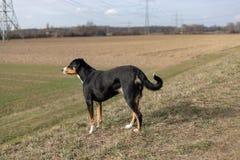 Stående stående av den gulliga le svartvita tricolor appenzellerberghunden med bakgrund av grönt gräs royaltyfria foton