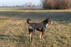 Stående stående av den gulliga le svartvita tricolor appenzellerberghunden med bakgrund av grönt gräs fotografering för bildbyråer