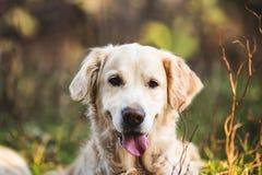 Stående av den gulliga och lyckliga hundavelgolden retriever som ligger på gräset i höstskogen arkivbilder