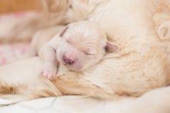 Stående av den gulliga sova vita nyfödda valpen av golden retriever royaltyfri bild