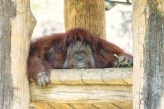 Stående av den gulliga stora orangutanget som ser till kameran och leendet Den lösa bruna röda apan, orangutang som finnas i djun royaltyfri foto