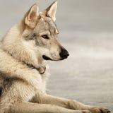 Stående av den gulliga unga wofdogmannen på frostfloden Royaltyfria Foton