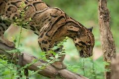 Stående av den härliga fördunklade leoparden Arkivbilder