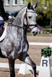 Stående av den härliga gråa hästen under show Fotografering för Bildbyråer