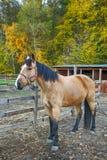 Stående av den härliga hästen i paddock Royaltyfria Foton