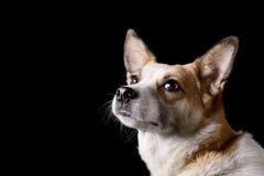 Stående av den härliga hunden i studio royaltyfria bilder