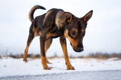 Stående av den härliga hunden som ner ser, i vinter Royaltyfria Bilder