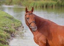 Stående av den härliga kastanjebruna hästen Royaltyfri Fotografi