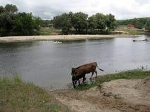 Stående av den härliga kon som dricker från floden i afton 7 serie för illustration för djurtecknad filmlantgård Fotografering för Bildbyråer