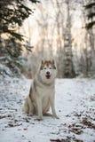 Stående av den härliga, lyckliga och fria siberian skrovliga hunden som sitter i vinterskogen fotografering för bildbyråer