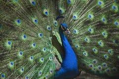 Stående av den härliga påfågeln (indisk peafowl) med fjädrar ut Royaltyfria Bilder