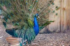 Stående av den härliga påfågeln med fjädrar ut arkivfoton