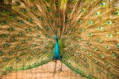 Stående av den härliga påfågeln med fjädrar ut Royaltyfria Foton