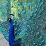 Stående av den härliga påfågeln med fjädrar ut Arkivbild