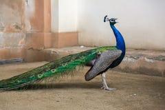 Stående av den härliga påfågeln med fjädrar ut Fotografering för Bildbyråer