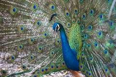 Stående av den härliga påfågeln med fjädrar ut royaltyfria bilder