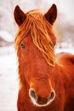 Stående av den härliga röda hästen i vinter utomhus Royaltyfri Foto